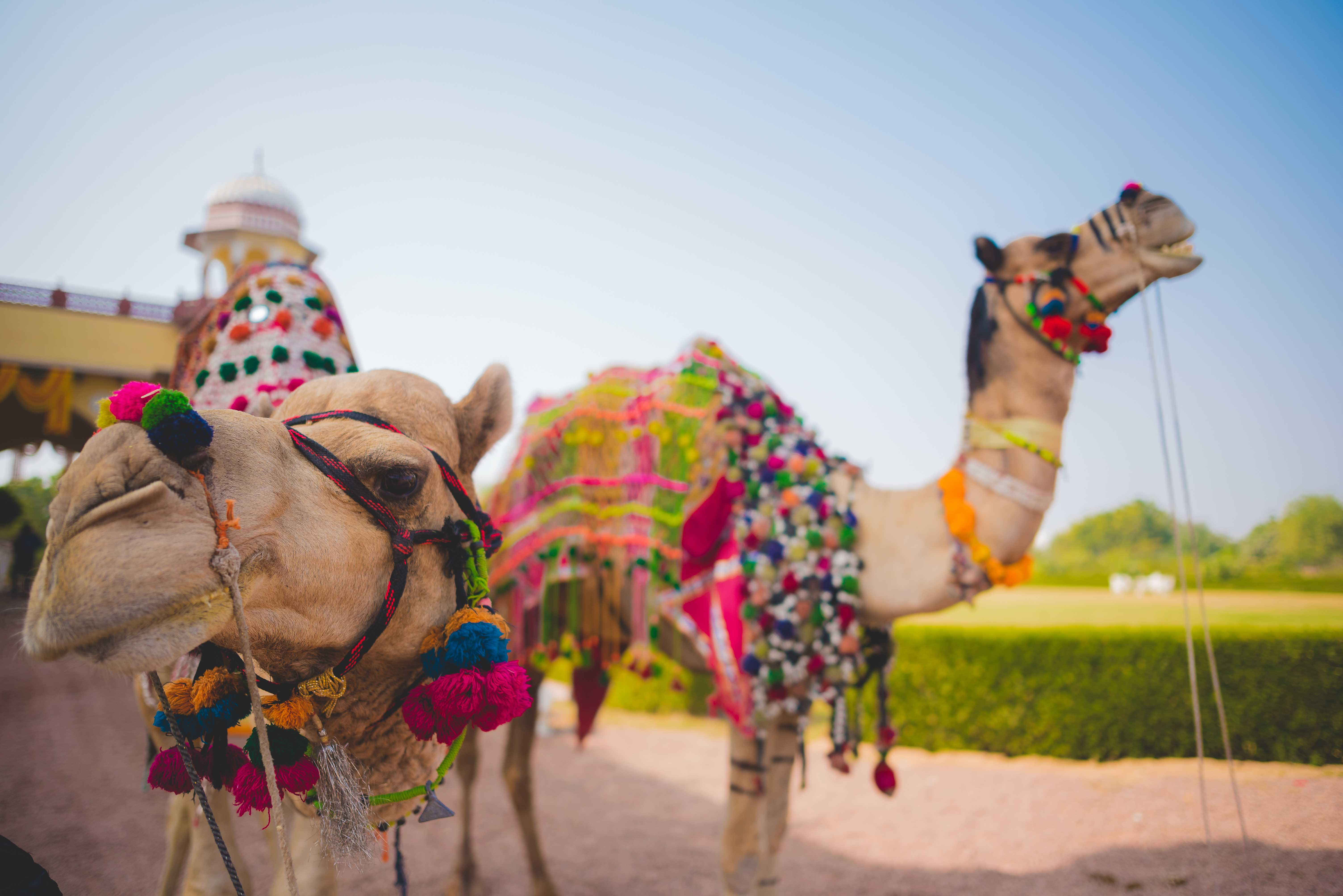 Exotic Gujarati Wedding in Jodhpur featuring Camels